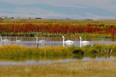 The Bayanbulak Swan Reserve